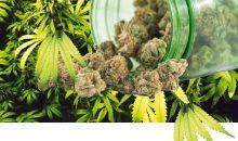 Hanfblüten sind für die pharmazeutische Industrie ein wichtiges Rohprodukt, dessen Bedeutung mit der teilweisen Legalisierung von Cannabisprodukten zunehmen wird. (Bilder: rgbspace/ openrangestock – Fotolia)