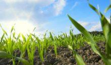 Junge Weizenpflanzen: Bayer will in einer Forschungskooperation mit den Shanghai Institutes for Biological Sciences (SIBS) die Erträge steigern. (Bild: Bayer)