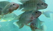 Der Nil-Tilapia macht etwa drei Viertel der zum Verzehr gezüchteten Tilapia aus. (Bild: paulrdunn – iStock)