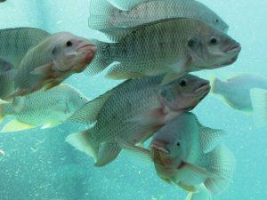 Fishes - Nile Tilapia