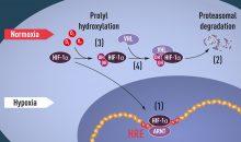 Bei normaler Sauerstoffversorgung in der Zelle (Normoxia) markiert das Protein VHL den Signalkomplex HIF für den Abbau. Bei Sauerstoffmangel (Hypoxia) reichert sich HIF an und aktiviert das Gen für EPO, was die Produktion roter Blutkörperchen ankurbelt. (Bild: The Nobel Committee for Physiology or Medicine / Mattias Karlén)